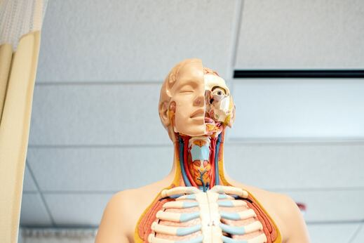 Anatomy of plastic cadaver with front part dissected in Sports medicine classroom